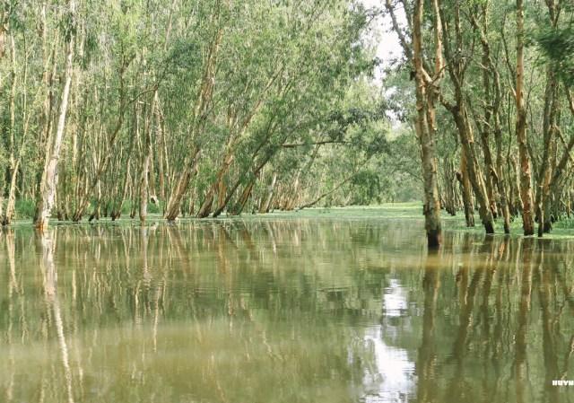 Rừng trà sư mùa nước nổi