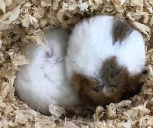 ゴールデンハムスターが仲良く丸くなって寝ている姿
