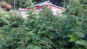Bringebærbusker i frukthagen