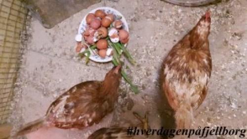Lohman høner #reddhøna