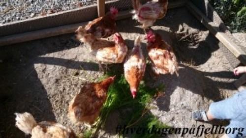 #reddhøna Pensjonerte verpehøner av rasen Lohman