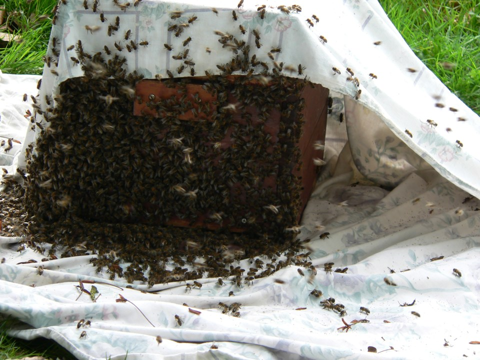 Collecting a swarm in Buxted in the High Weald, East Sussex