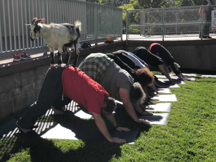 'Greatest Of All Time': Faculty, staff participate in goat yoga
