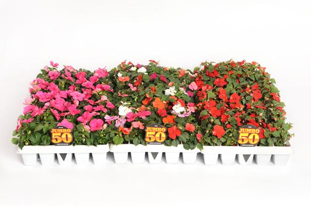 50 Count Annuals