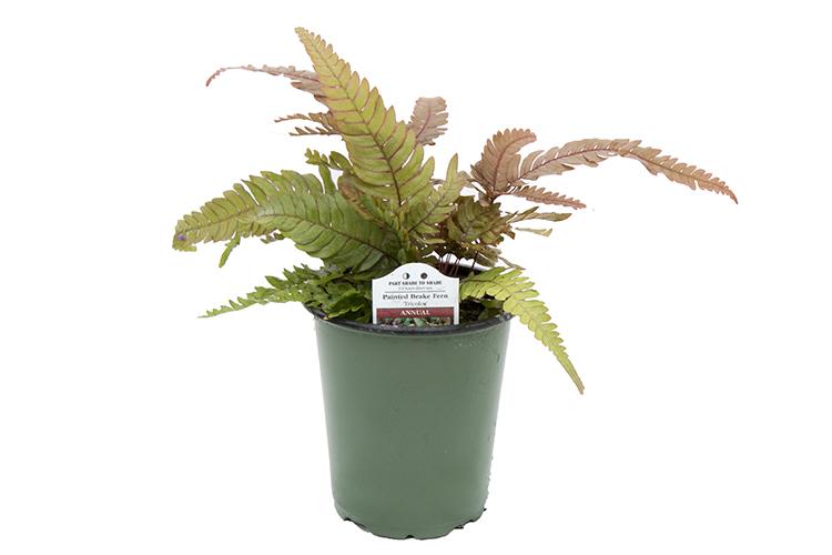 5″ Tropical Ferns