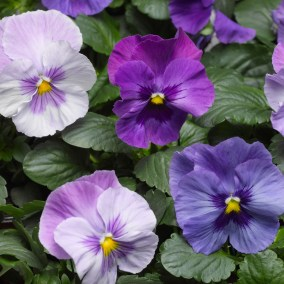 Lavender Blue Shades