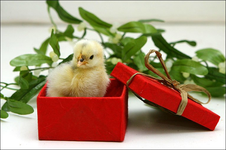 _46915323_chick-in-a-box