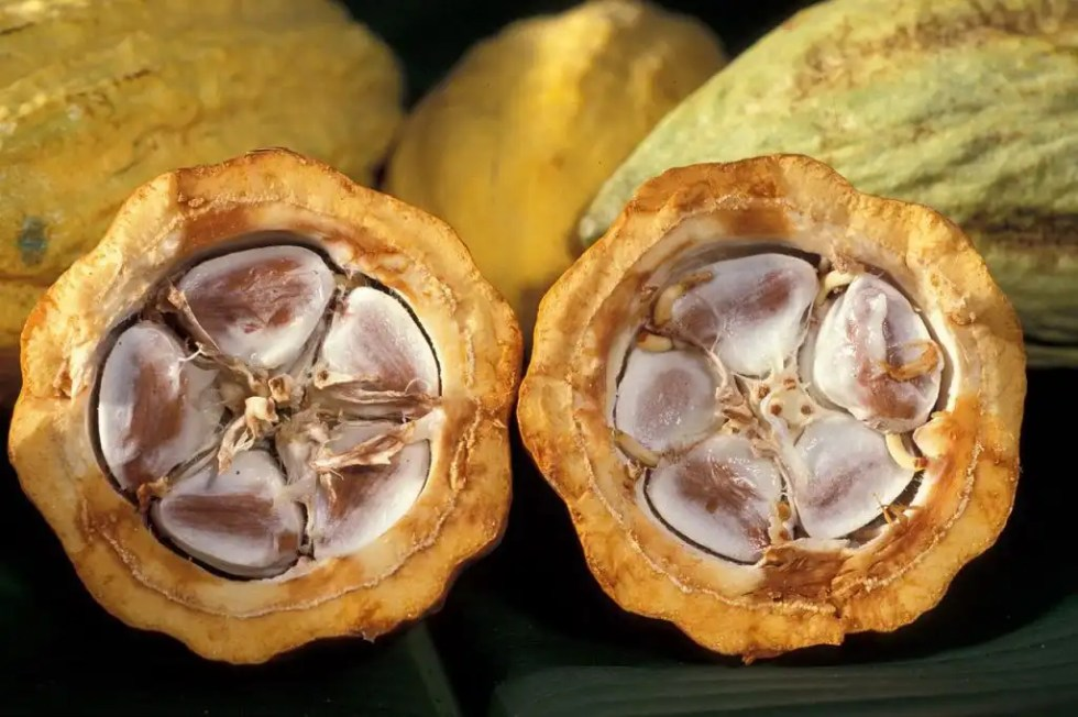 Cacao Pods - Open