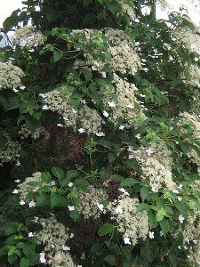 Climbing Hydrangea in flower
