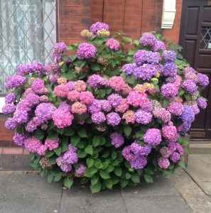 Hydrangea macrophylla in flower in July