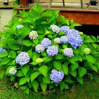 The Nikko Blue Hydrangea