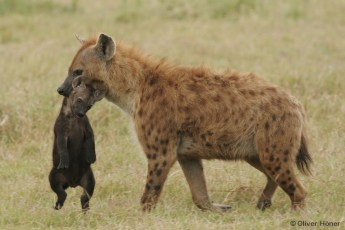 Hyena mother carrying her cub