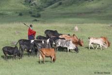 Ein Massai-Hirte hütet seine Rinderherde