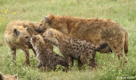 Une mère et ses petits domine une femelle de rang inférieur