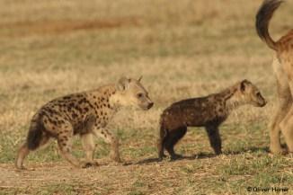 Deux jeunes hyènes du même âge