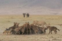 Des hyènes se délectant d'un buffle
