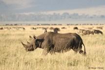 Rhinocéros noir dans le Cratère de Ngorongoro