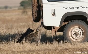 Une jeune hyène mordillant notre voiture