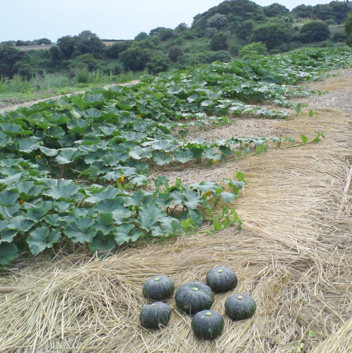 かぼちゃ栽培