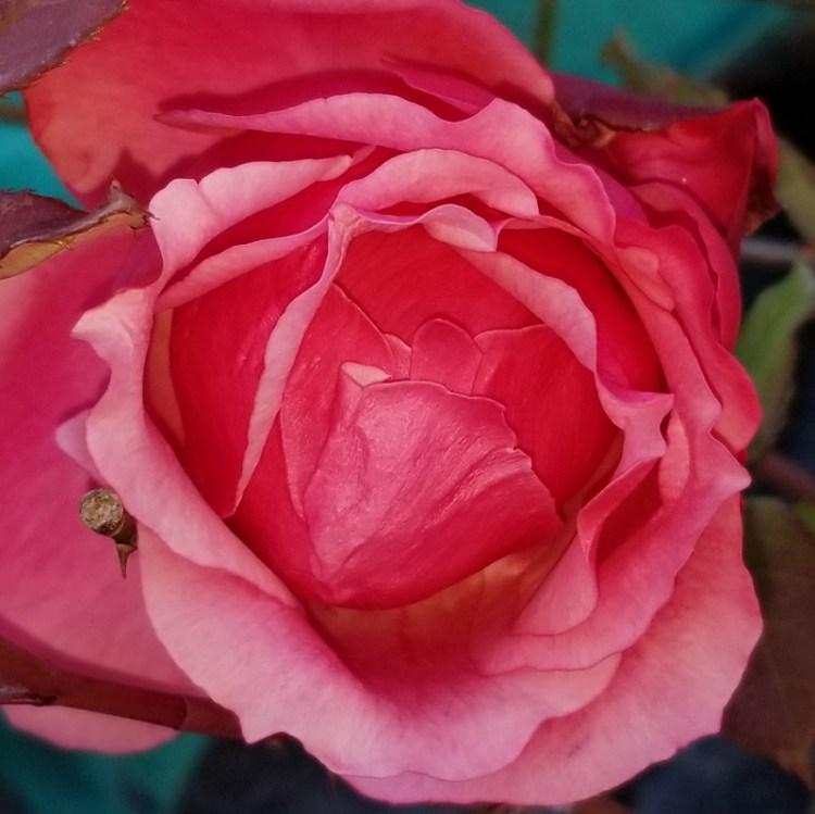rose_20190205_164202 (800x799)