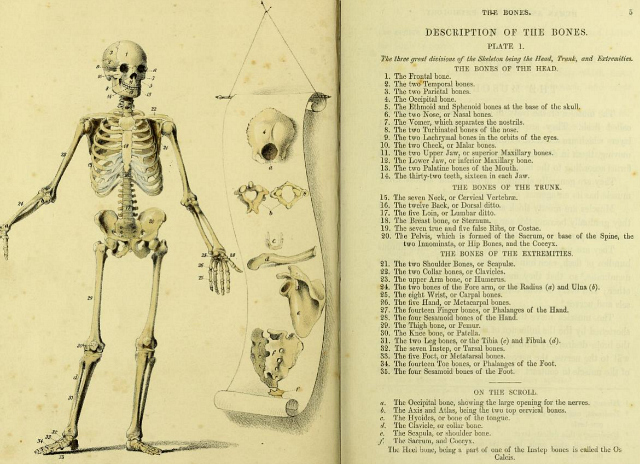 """Skeleton diagram in """"A Manual of the Dissection of the Human Body"""" by Luther Holden (1851) (via Wellcome Library)"""