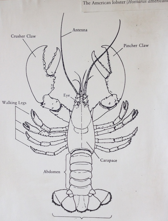 Lobster Diagram