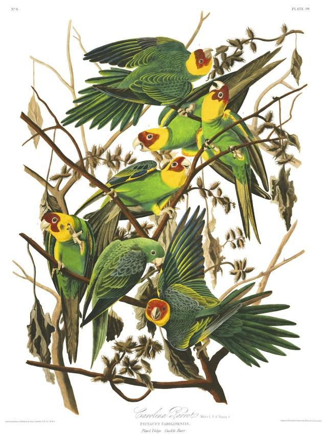 "John James Audubon, ""Carolina Parrot"" (Plate 26 from 'The Birds of America') (courtesy Audubon Society)"