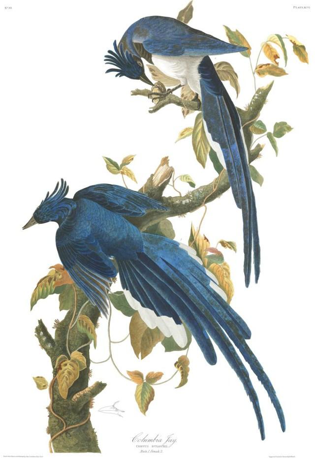 "John James Audubon, ""Columbia Jay"" (Plate 96 from 'The Birds of America') (courtesy Audubon Society)"