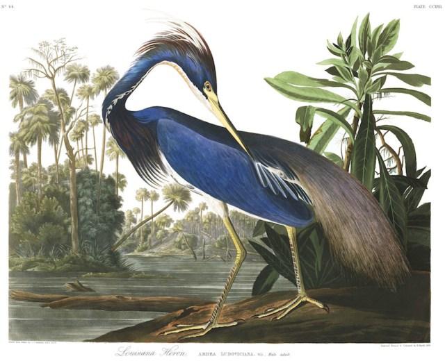 """John James Audubon, """"Louisiana Heron"""" (Plate 217 from 'The Birds of America') (courtesy Audubon Society)"""