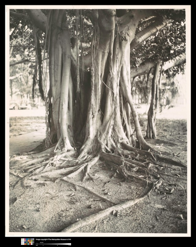 "Walker Evans, ""Banyan Tree, Florida"" (1941, printed c. 1970), Gelatin Silver Print, 8 13/16 x 7 1/16 in. (22.4 x 18 cm), Lent by The Metropolitan Museum of Art, Gift of Arnold Crane, 1972"