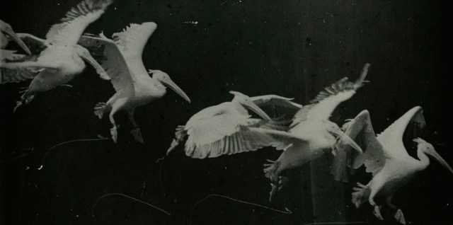 A flying pelican (1882) photographed by Étienne-Jules Marey (via Wikimedia)