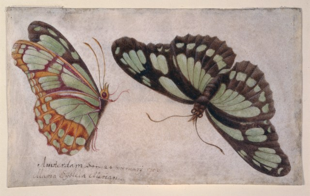 """Maria Sibylla Merian, """"Zwei Schmetterlinge (Two Butterflies)"""" (1706) (courtesy Germanisches Nationalmuseum, Nuremberg)"""