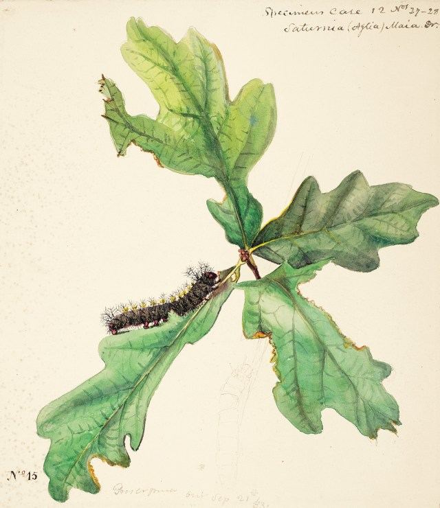 Caterpillar of the Buck Moth