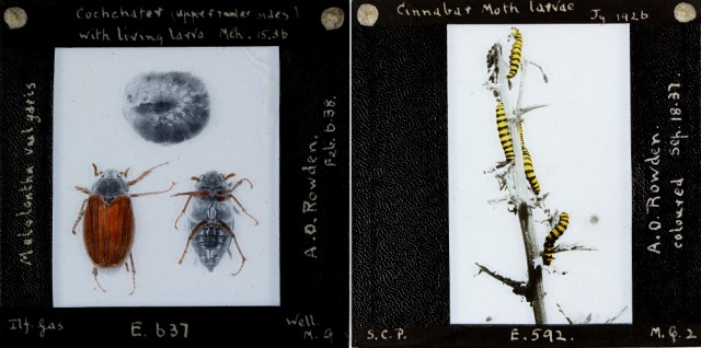 Series of insects from the Royal Albert Memorial Museum Collection (© 2016 Royal Albert Memorial Museum and Art Gallery, Exeter)