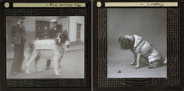 Photographs of dogs from the Royal Albert Memorial Museum Collection (© 2015 Royal Albert Memorial Museum and Art Gallery, Exeter)