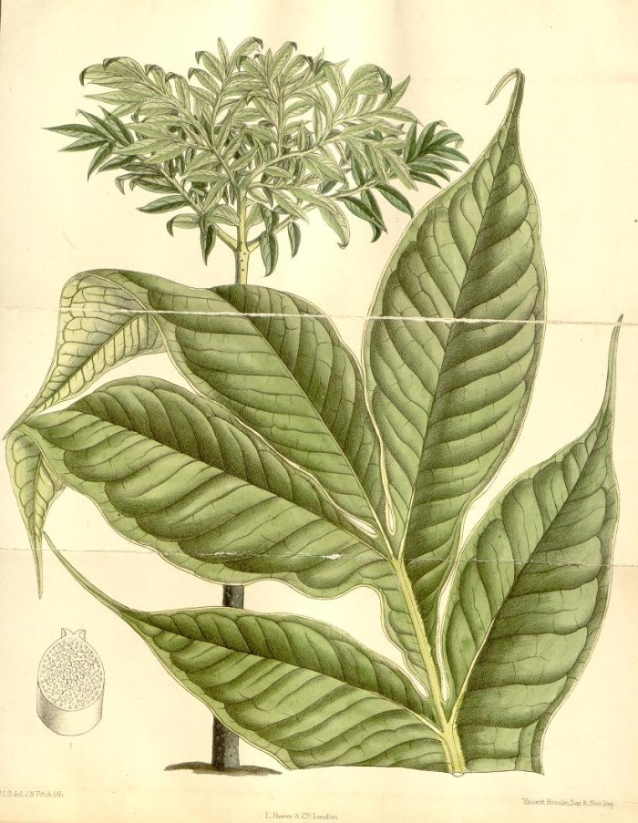 Illustration of the 1889 Royal Botanic Gardens at Kew corpse flower by Matilda Smith (via Curtis's Botanical Magazine/Biodiversity Heritage Library)