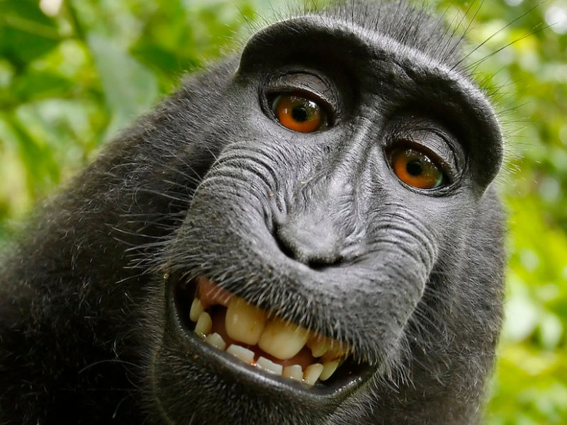 Self-portrait of a female Celebes crested macaque (Macaca nigra) in North Sulawesi, Indonesia, who had picked up photographer David Slater's camera and photographed herself with it (via Wikimedia Commons)