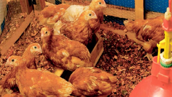 Ghana confirms outbreak of bird flu; bans poultry imports