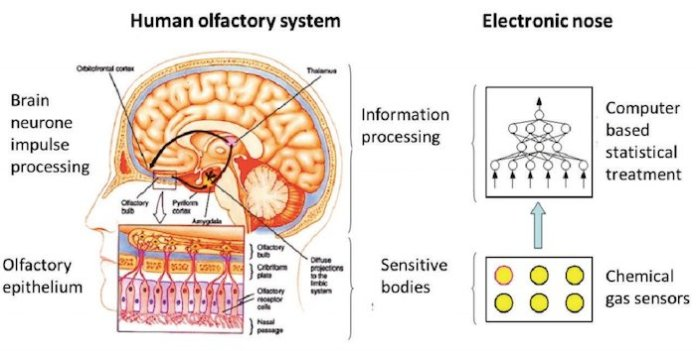 Human olfactory system vs. electronic nose