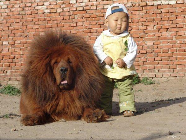 cachorro-mais-caro-do-mundo-é-da-raça-Mastim-tibetano