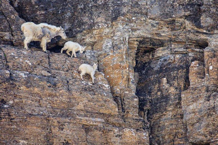 crazy-goats-on-cliffs-16