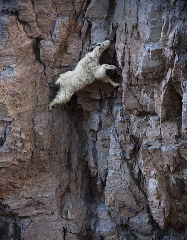 crazy-goats-on-cliffs-7