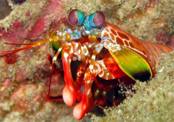 image_1719-Mantis-shrimp