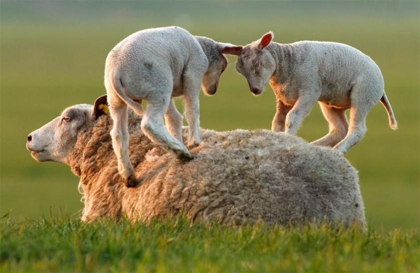 Carneiros brincam com a ovelha mãe. Há mais de 1 bilhão de ovelhas no mundo, a maioria na China. Foto por: Roeselien Raimond