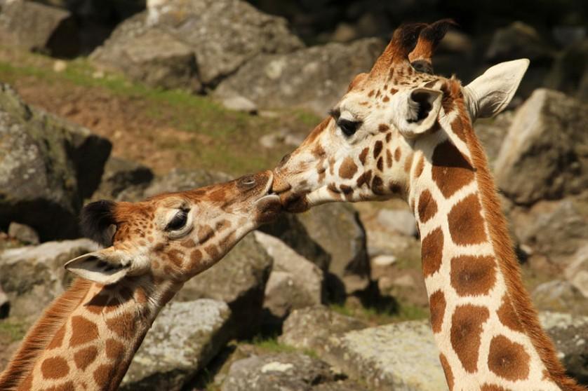 fotos de animais se beijando girafas