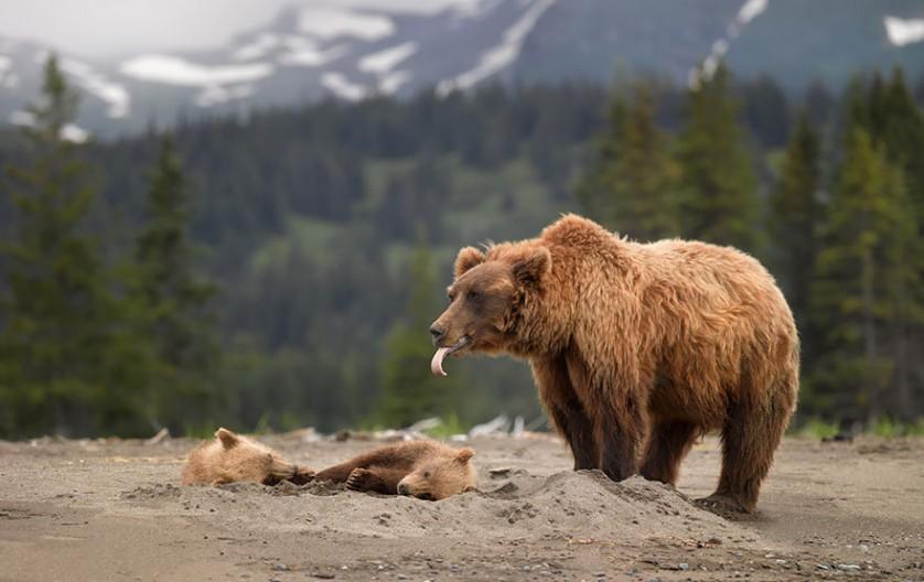 filhotes de ursos 11