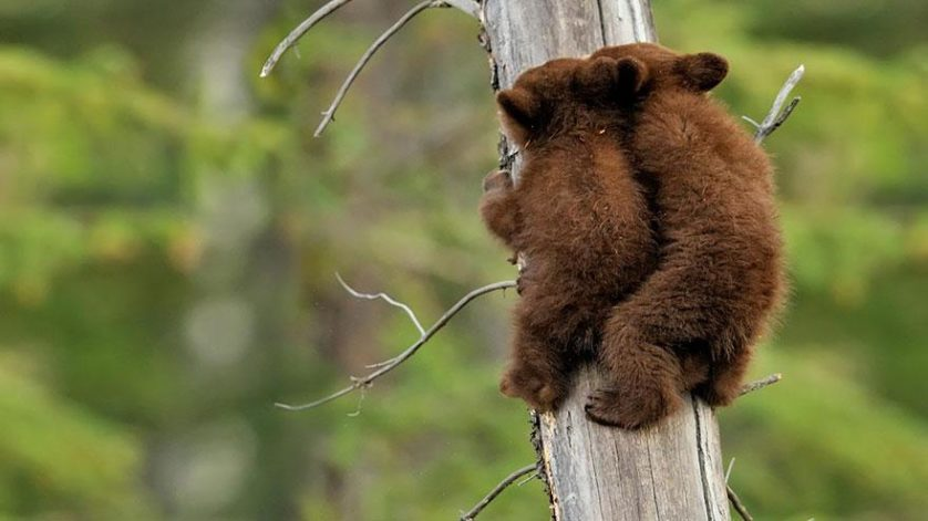 filhotes de ursos 17