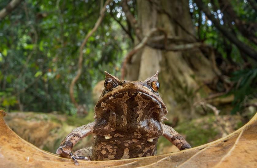 sapos anfibios raros 7