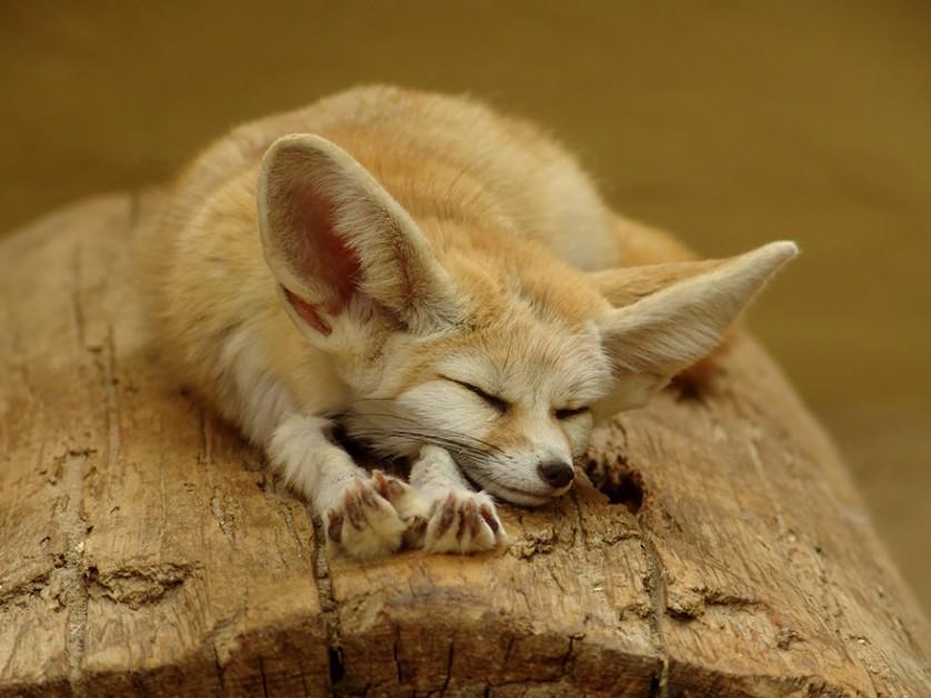 raposas 1-