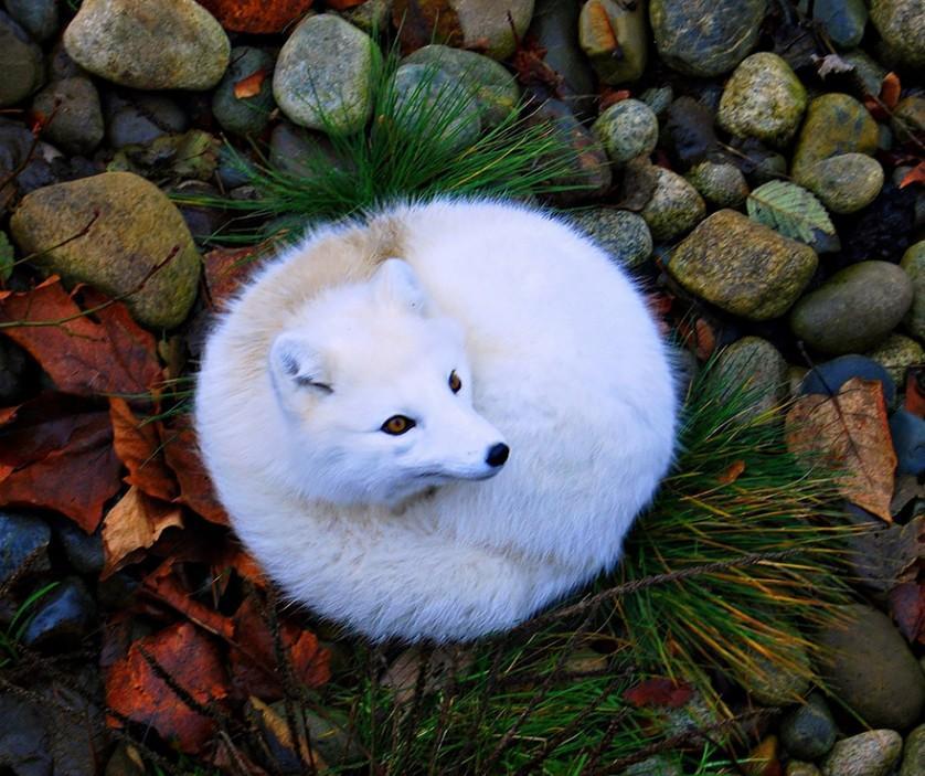 raposas 6-